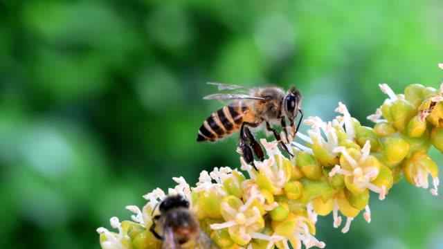 api in primo piano, raccogliendo nettare da un palmo di betel pollinico - torace animale video stock e b–roll