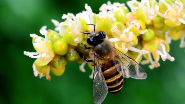 api in primo piano succhiare il nettare - torace animale video stock e b–roll