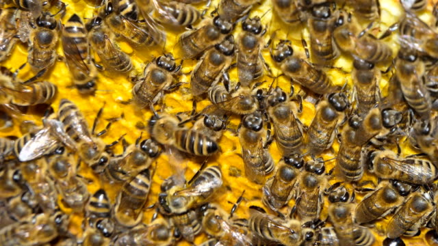 vídeos de stock e filmes b-roll de bees in hive. natural honey, bees produce wax and build honeycombs from it. - honeycomb