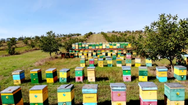 Bees in the apiary. in the meadow a lot of bee houses, hives are. honey production on farm. The bees swarm alongside hives . natural honey production, organic products video