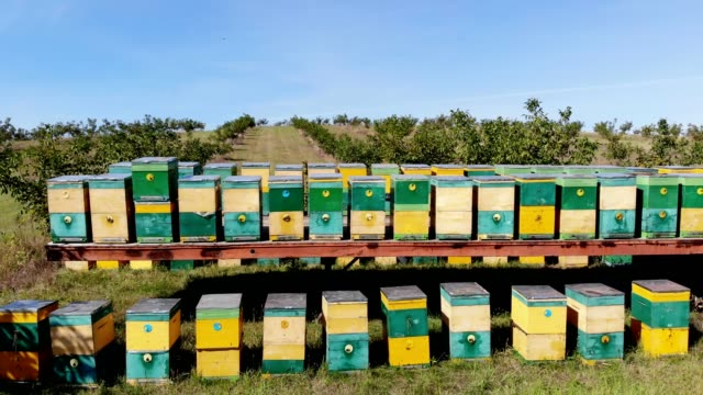 bees in the apiary. in the meadow a lot of bee houses, hives are. honey production on farm. the bees swarm alongside hives . natural honey production, organic products - apicoltura video stock e b–roll