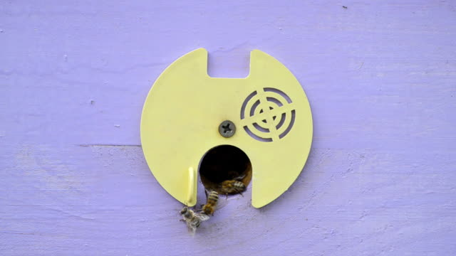 vídeos y material grabado en eventos de stock de abejas cerca de la entrada a la colmena. - insecto himenóptero