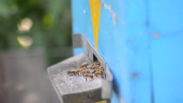 Bees near the entrance to the hive. video