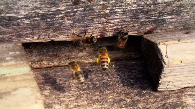 Bees on beehive close up video