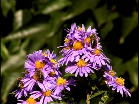 api a fiori pal - pistillo video stock e b–roll