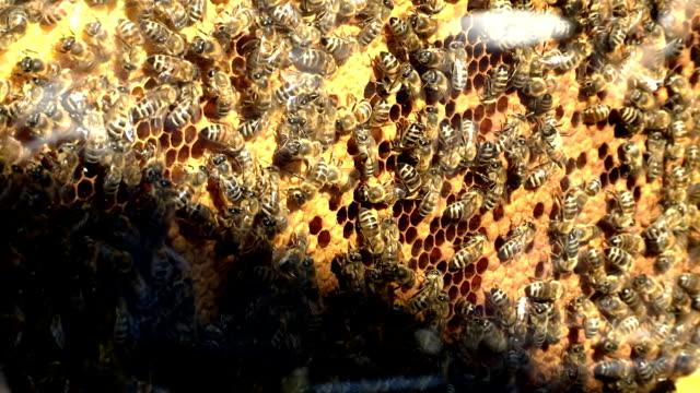bees on honey cells - ape operaia video stock e b–roll