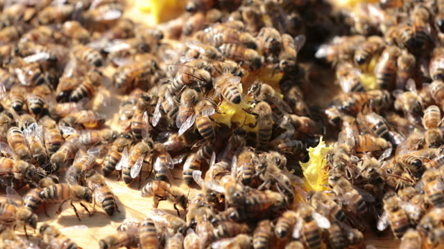 Bees on Honeycomb Close up