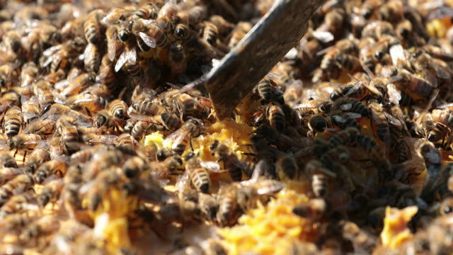 bees on honeycomb close up - ape regina video stock e b–roll