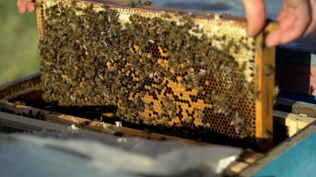 Bees on honeycomb frame. video