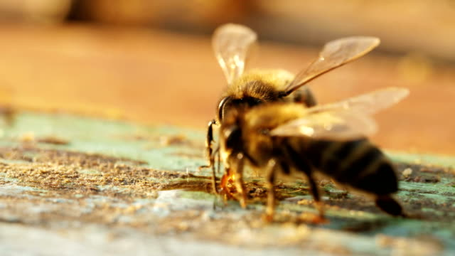 bees on honeycomb in a beehive. video
