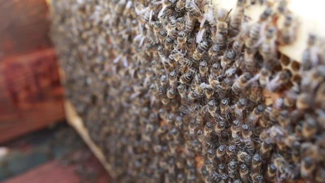 bees on honeycomb in apiary - ape regina video stock e b–roll
