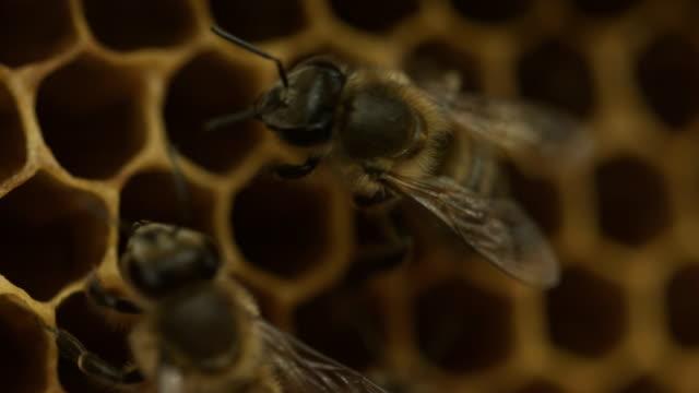 api su nido d'ape - apicoltura video stock e b–roll