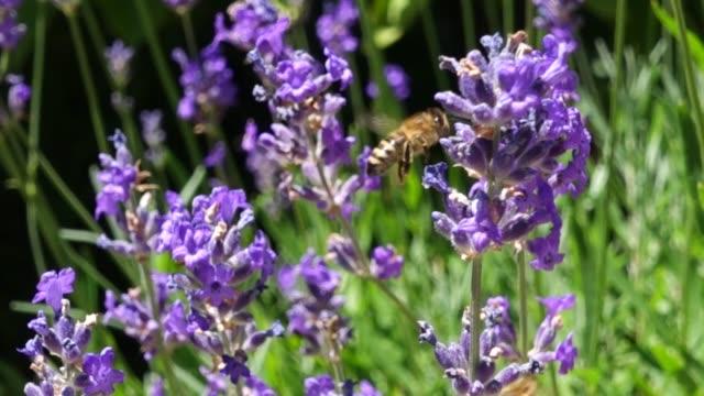 bin på lavendar - pollinering bildbanksvideor och videomaterial från bakom kulisserna