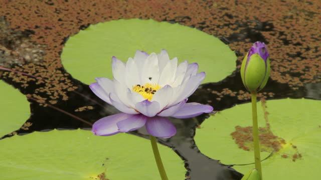 Bees on purple lotus flower. video