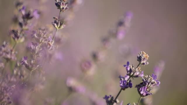 vídeos y material grabado en eventos de stock de abejas poliniza las flores de lavanda - insecto himenóptero