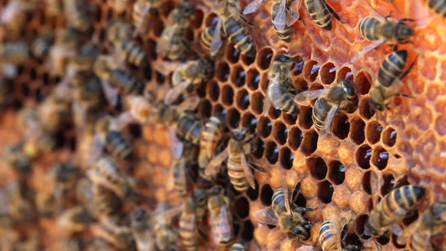 api. - apicoltura video stock e b–roll