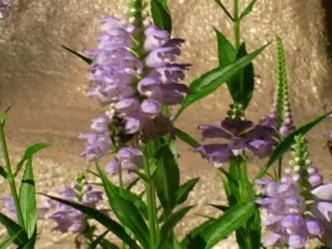 vídeos y material grabado en eventos de stock de bees  - insecto himenóptero