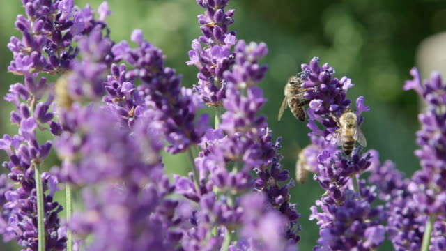 DOF, MACRO, CLOSE UP Bees working hard to pollinate lavender bush and make honey video