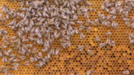 istock Bees working on honey cells in beehive timelapse 1233291174