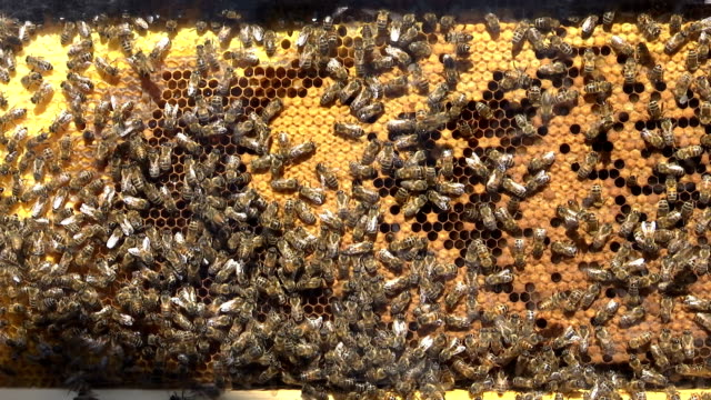 bees working on  honeycomb with honey - ape operaia video stock e b–roll