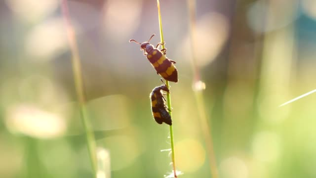 Beetle action on green grass in wild at morning. Beetle action on green grass in wild at morning. videos of dogs mating stock videos & royalty-free footage
