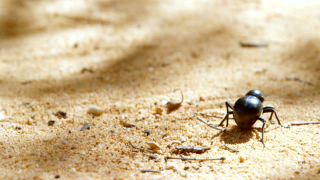 Beetle crawling on sand 4k Close-up of beetle crawling on sand 4k arthropod stock videos & royalty-free footage