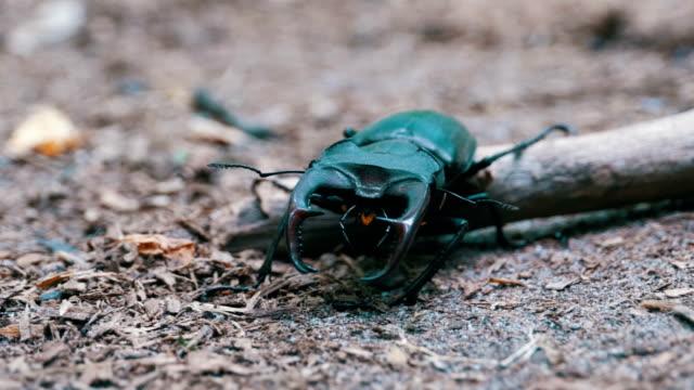 Beetle Deer Creeps on the Ground Beetle deer creeps on the ground. Black beetle bug crawls on fallen leaves on the ground macro close-up shot. arthropod stock videos & royalty-free footage