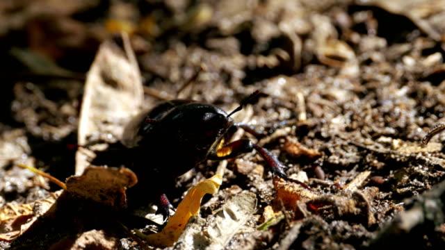 Beetle Deer Creeps on the Ground video