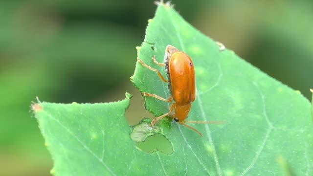 Beetle eating plant leaf