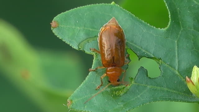 beetle eating plant leaf