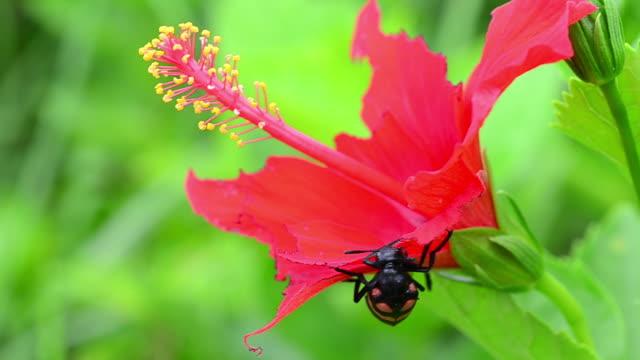scarabeo mangia fiore rosso - pistillo video stock e b–roll