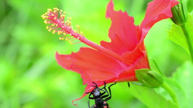 stockvideo's en b-roll-footage met beetle eating red flower - arthropod