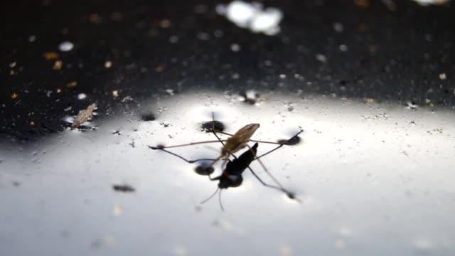 su üzerinde beetle gerridae - uzun adımlarla yürümek stok videoları ve detay görüntü çekimi