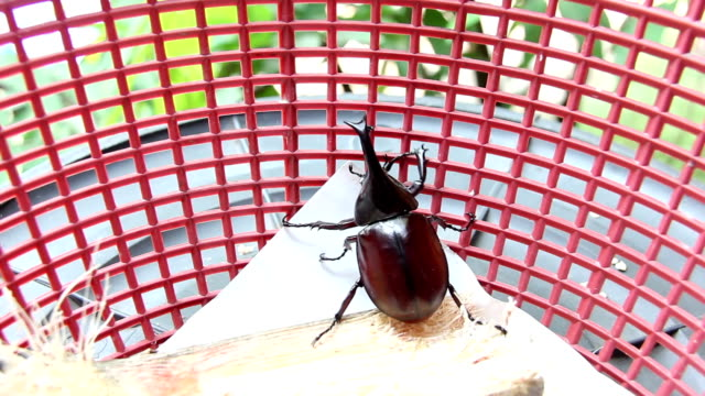 Beetle in red basket