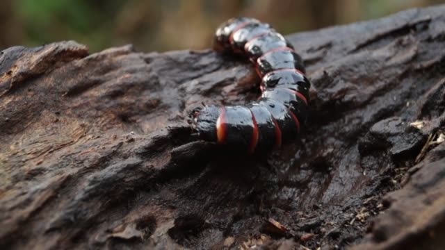 beetle larva species crawls on rotting wood beetle larva species crawls on rotting wood. close up zoology stock videos & royalty-free footage
