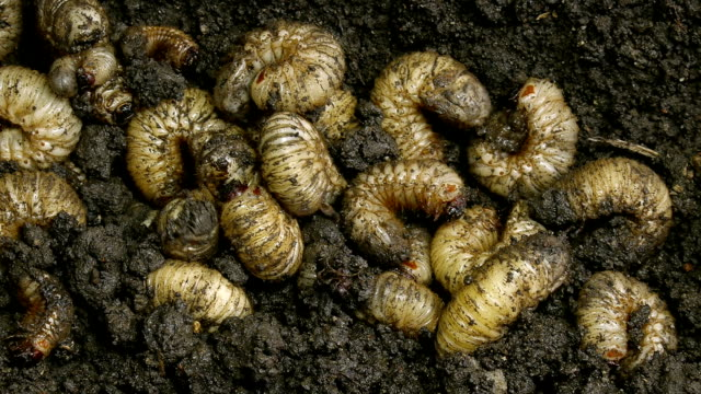 Beetle larvae unearthing from the ground video