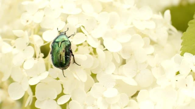 Beetle on Chrysanthemum