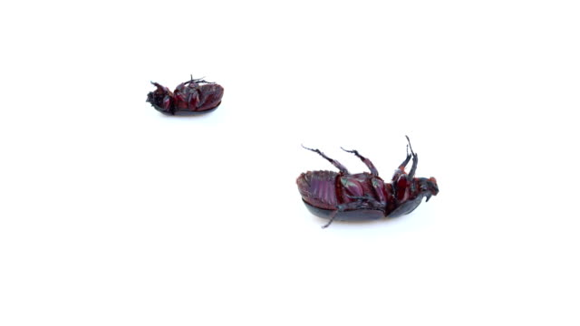 Beetle On Isolated White Background video