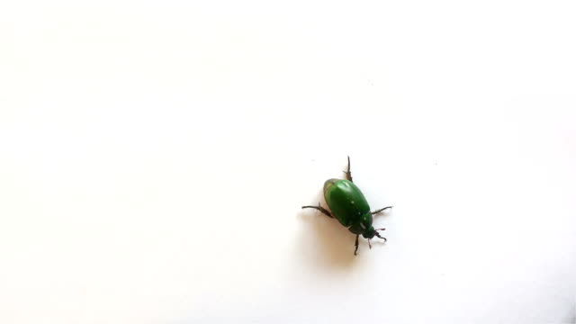 beetle walking and pee and fly away 4K video