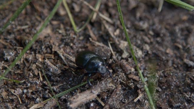 beetle walks on the ground, close-up on the animal