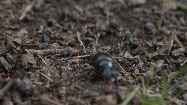 beetle with a black color wanders slowly
