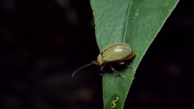 käfer gelb auf blatt im tropischen regenwald. - gliedmaßen körperteile stock-videos und b-roll-filmmaterial