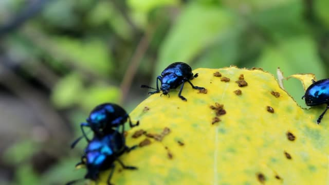 Beetles are mating in nature,Insect mating,Sex and Reproduction,nature.