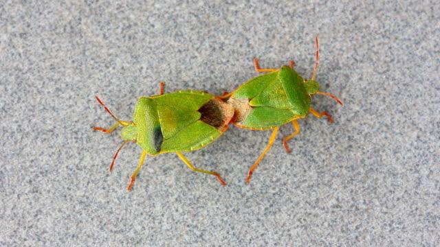 vídeos de stock, filmes e b-roll de besouros inseto fedido o acasalamento árvore verde (palomena) - clipe