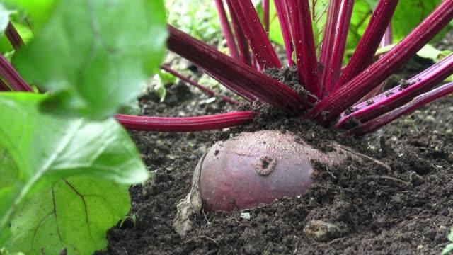 rote beete in einem gemüsegarten. rote beete mit blatt. - chenopodiacea stock-videos und b-roll-filmmaterial