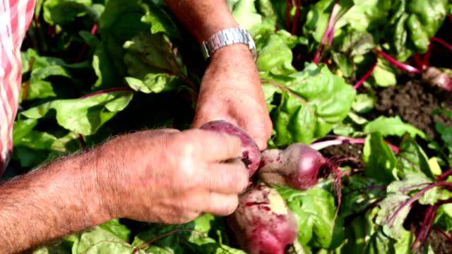 Beets fresh from the land video