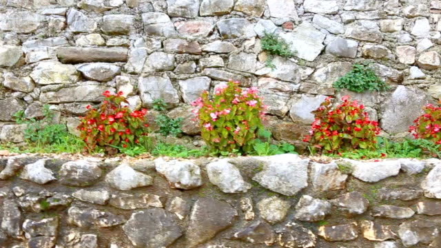 Begonia lined up on the wall. Begonia plants on the stone wall. The begonias between the rock.