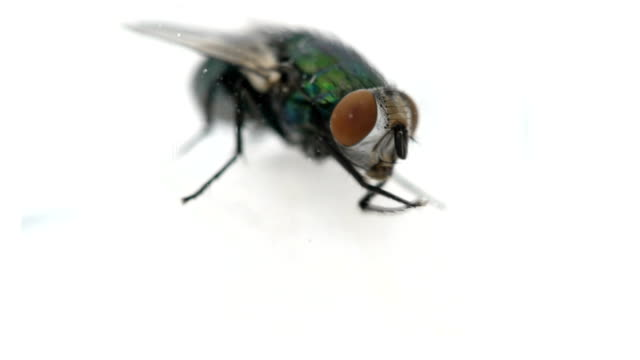 behind the glass a fly cleans itself