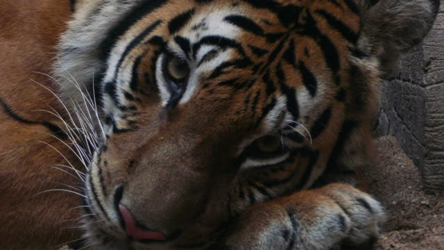 Benga Tiger looking at camera