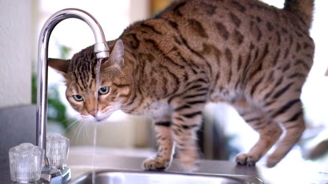 Bengal cat drinking tap water